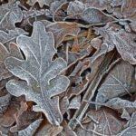 Een berijpt en bevroren eikenblad