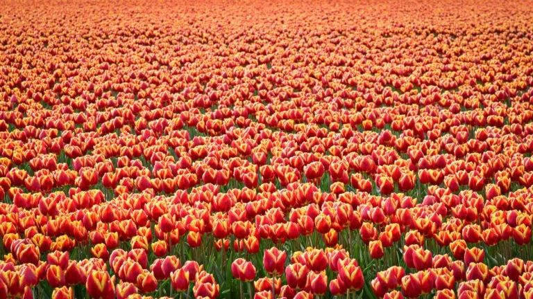 Bloeiende bollenvelden met rood gele tulpen in overvloed