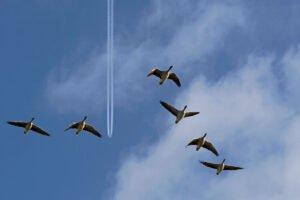 6 Ganzen vliegen in de blauwe lucht