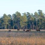 Herten grazen in de avondschemering op de Hoge Veluwe