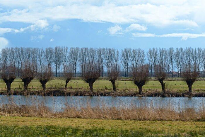Rijen bomen van wilgen en populieren in het vroege voorjaarslich
