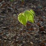 Een jong beukenplantje toont zijn eerste bladeren in de lente