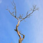 Een dode boom op de Hoge Veluwe