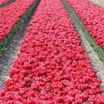Een bed met rode tulpen in de Noordoostpolder