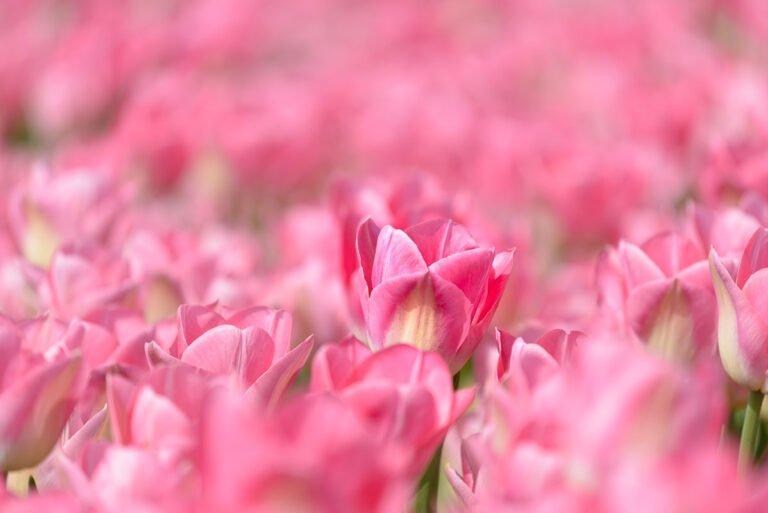 Boven het maaiveld - een roze tulp in de Noordoostpolder