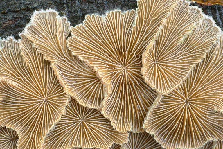 Het waaiertje (Schizophyllum) op een gekloofd blok hout van een oude beuk