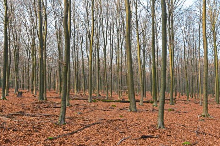 Heel veel stammen in een beukenbos