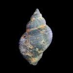 Een van de wulken gevonden op het noordzeestrand