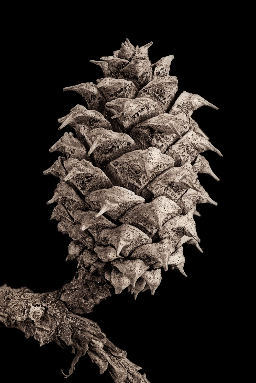 Kegels van coniferen - een voorbeeld in zwart-wit