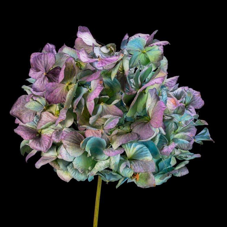 Hortensia als droogbloem - toont de veelzijdigheid van de hydrangea.