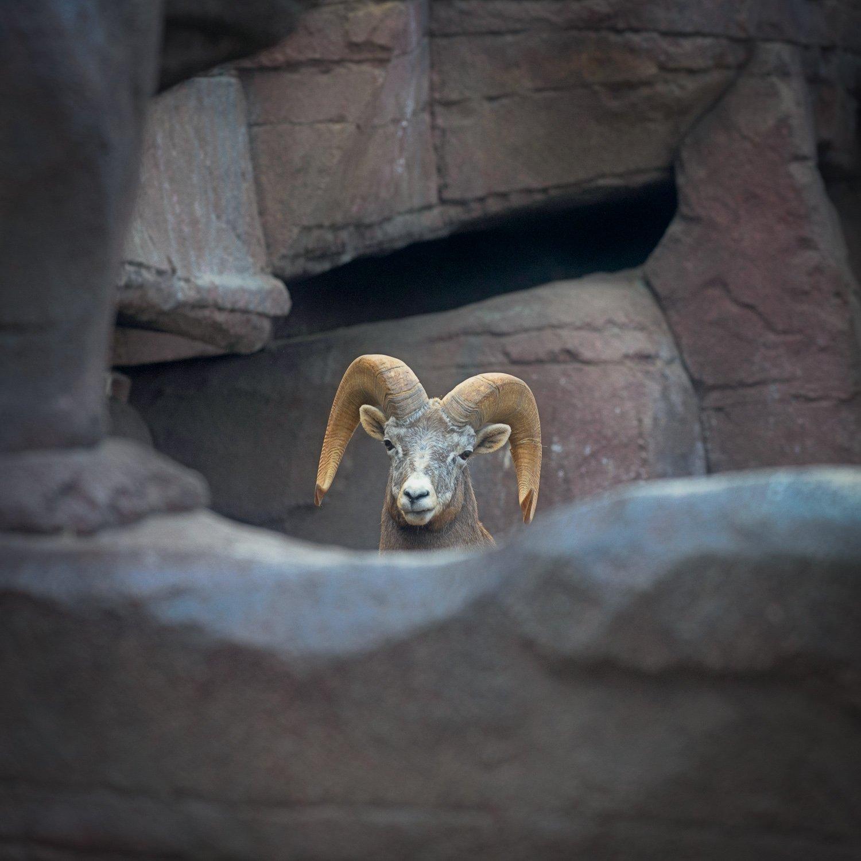 Woestijndikhorengeit in de desert van Burgers Zoo