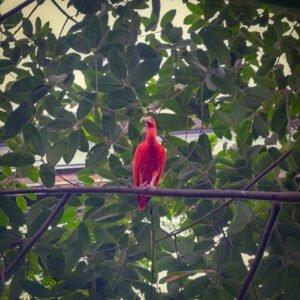 De rode Ibis in de bush van Burgers Zoo