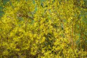 Lente - Bloeiende Forsythia op het Belmonte Arboretum in Wageningen