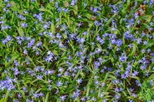 Lente - Bloeiende blauwe scilla's in het Belmonte Arboretum in Wageninge