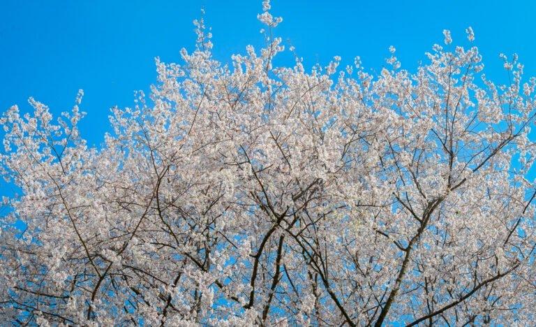 Bloeiende prunus tegen de lente hemel op het Belmonte Arboretum