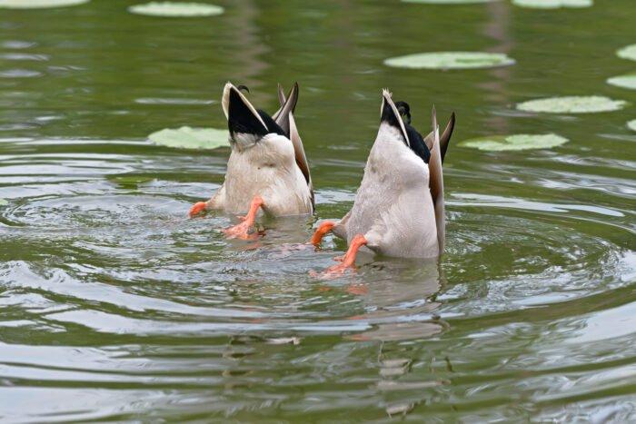 Teamwork - met z'n tweeen zijn deze eenden op zoek naar voedsel