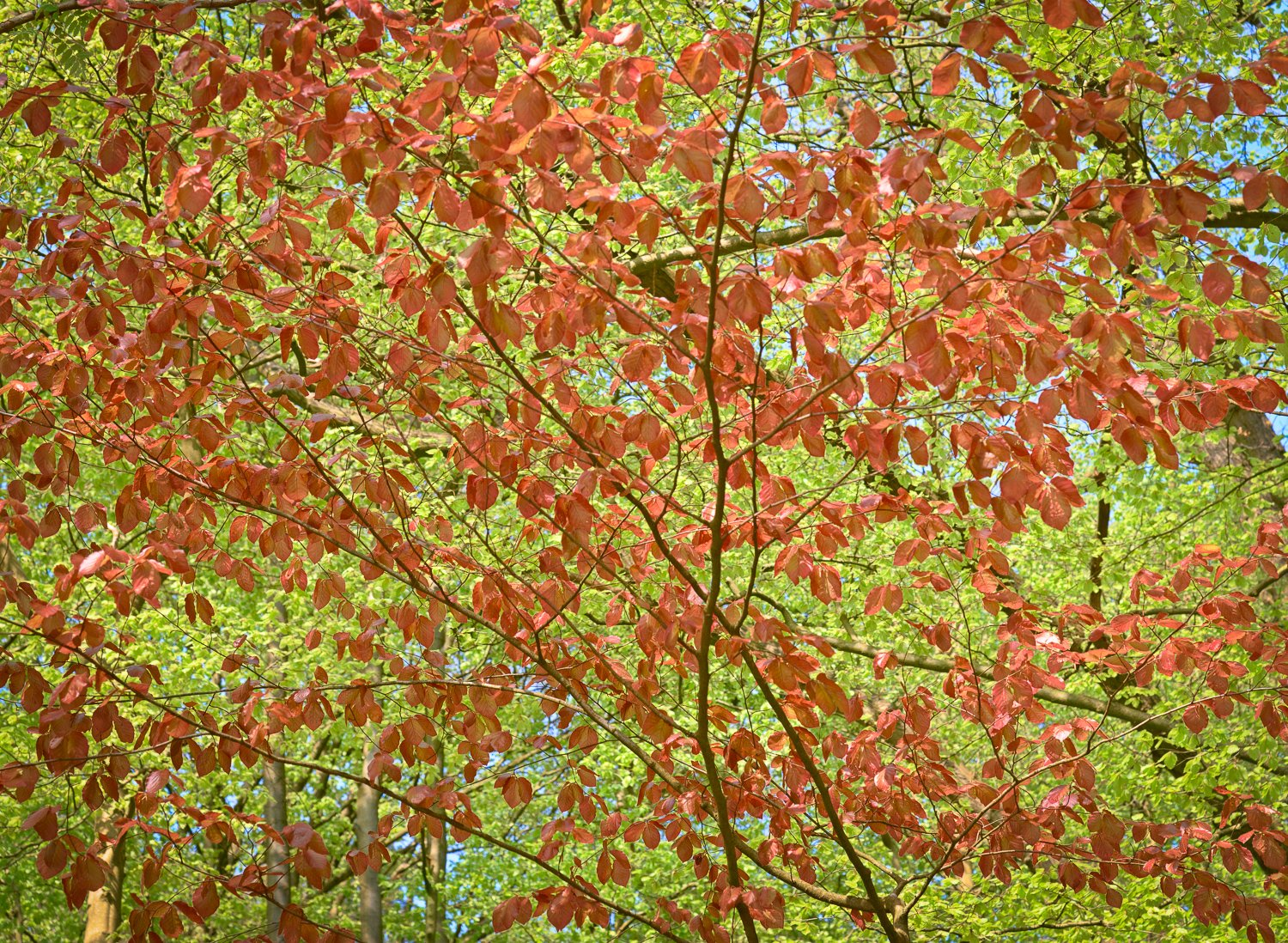 Canopy of a red and green leaved beech tree in early spring