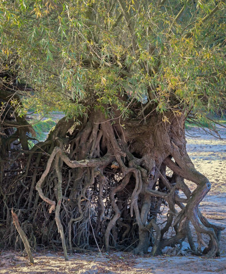 Blootgespoelde wortels van een wilg langs de Maas