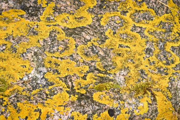 Lychen on a rock in Norway